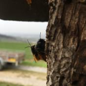 Gehörnte-Mauerbienen-bei-Pa